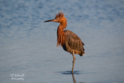 9th Oct 2020 - Reddish Egret in the early morning light