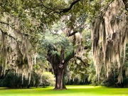 9th Oct 2020 - Live oak and Spanish moss