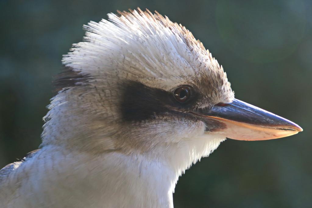 Kookaburra Close up by terryliv