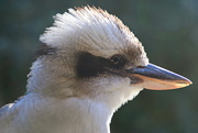 9th Oct 2020 - Kookaburra Close up