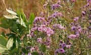 9th Oct 2020 - Fall wild flowers