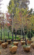 9th Oct 2020 - New trees