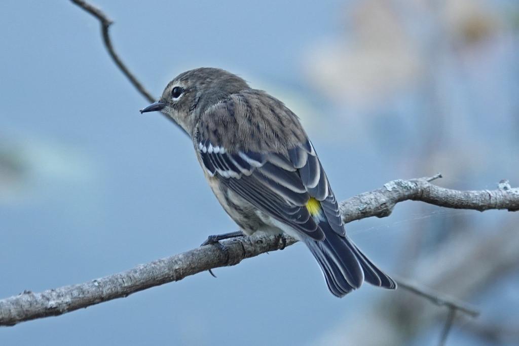 Yellow-rumped Warbler by annepann