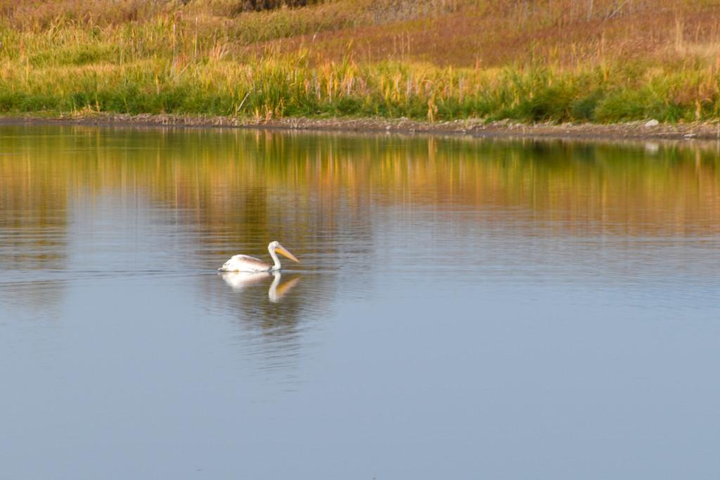 Pelican by bjywamer