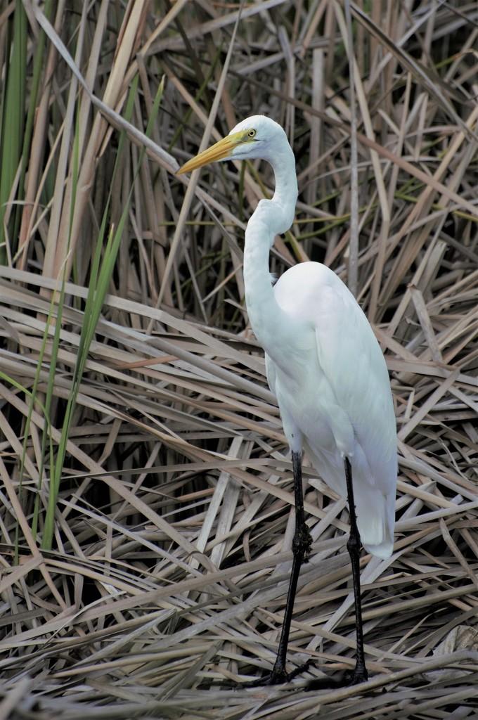 Great White Egret by chejja