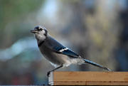 6th Oct 2020 - Welcome, Mr. Blue Jay!