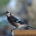 Welcome, Mr. Blue Jay!