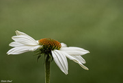 9th Oct 2020 - Coneflower