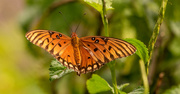 9th Oct 2020 - Another Gulf Fritillary Butterfly!