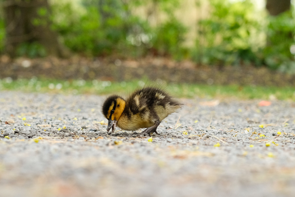 Lone duckling by maureenpp