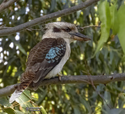 9th Oct 2020 - Kookaburra