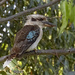 Kookaburra by koalagardens