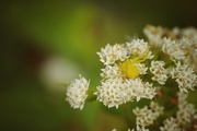 8th Oct 2020 - Yellow Crab Spider