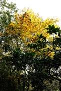 10th Oct 2020 - Golden Tree
