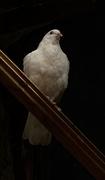 10th Oct 2020 - Dove
