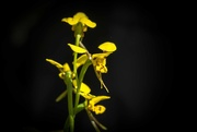 10th Oct 2020 - Donkey orchid