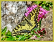 10th Oct 2020 - A Rather Tattered Swallowtail Butterfly