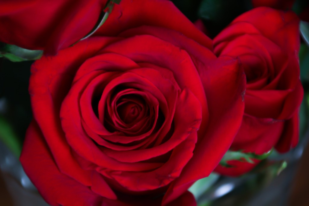Red roses by mittens