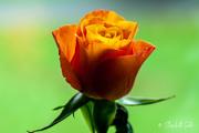 10th Oct 2020 - Orange rose