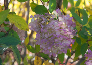 8th Oct 2020 - Hydrangea