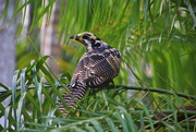 10th Oct 2020 - Juvenile Eastern Koel