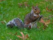 10th Oct 2020 - Eastern grey squirrel with acorn