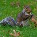 Eastern grey squirrel with acorn