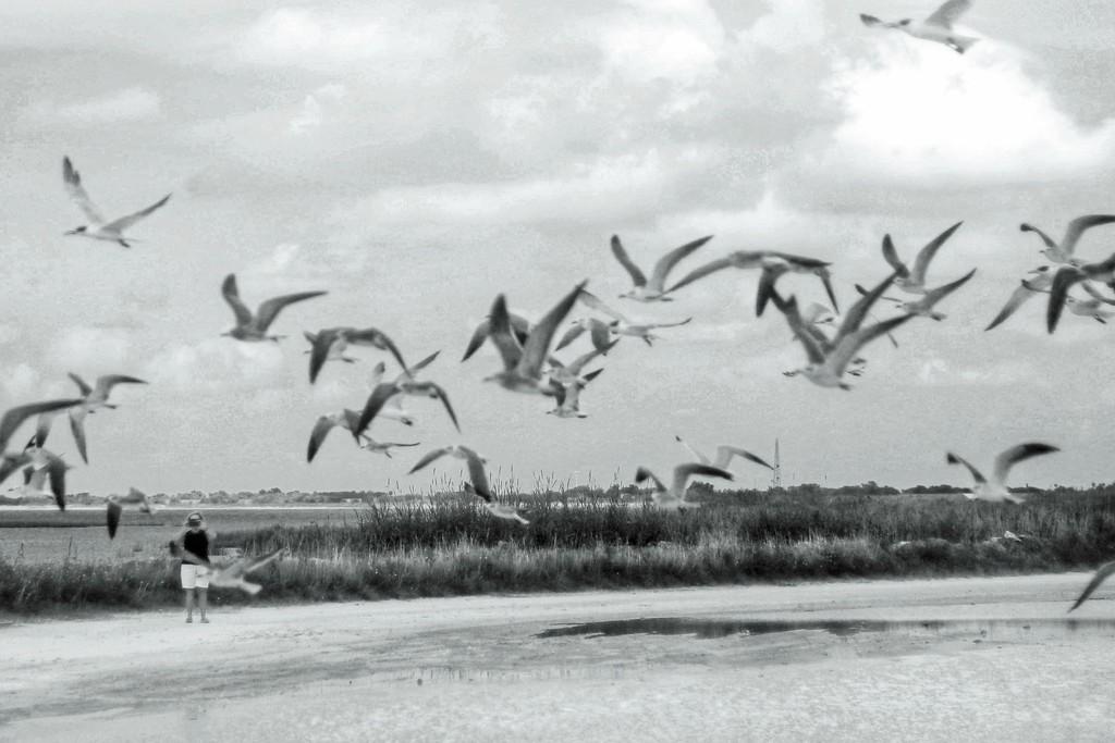 Sea Gull Day at Lake Okeechobee by joesweet
