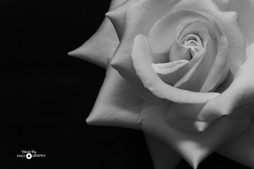 Rose by yolanda