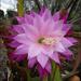 Epiphyllum flowers