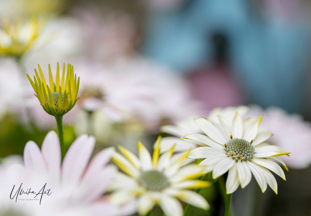 field of daisies by ulla