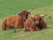 8th Oct 2020 - Highland cows