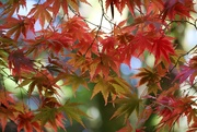 11th Oct 2020 - Japanese Maple