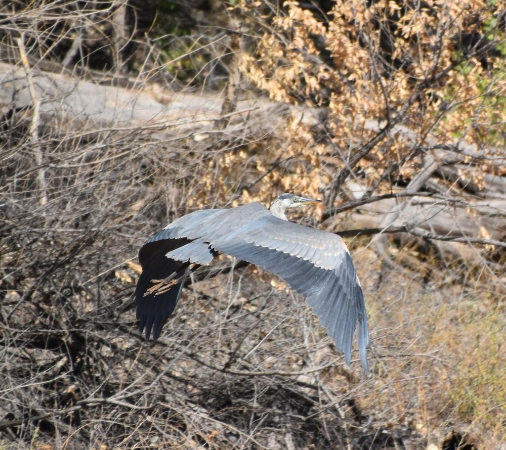 Great Blue Heron by bigdad