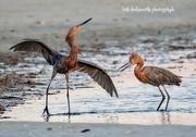 11th Oct 2020 - Morning Dance of the Reddish Egrets