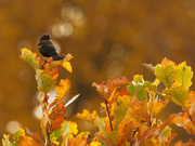11th Oct 2020 - Red-winged blackbird in autumn
