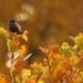 Red-winged blackbird in autumn