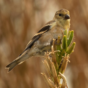 11th Oct 2020 - American goldfinch