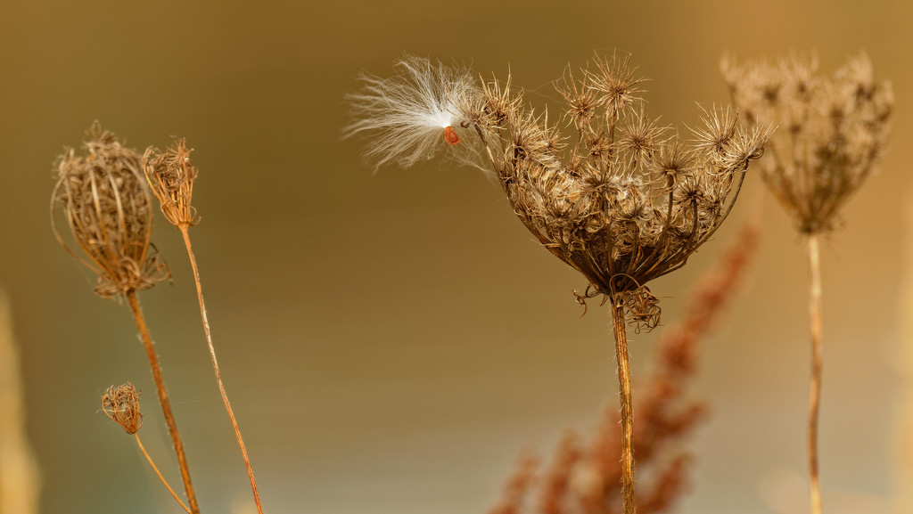 Queen Anne's lace with milkweed seed by rminer