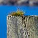 Grass Top