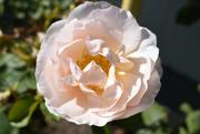 9th Oct 2020 - Bonus Rose
