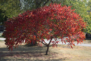9th Oct 2020 - Sumac Aflame with Autumn Color