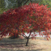 Sumac Aflame with Autumn Color