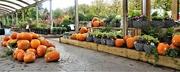 12th Oct 2020 - Pumpkins galore !