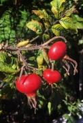 11th Oct 2020 - Rose hips