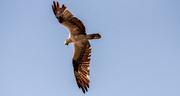 11th Oct 2020 - Osprey Overhead!