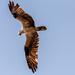 Osprey Overhead!
