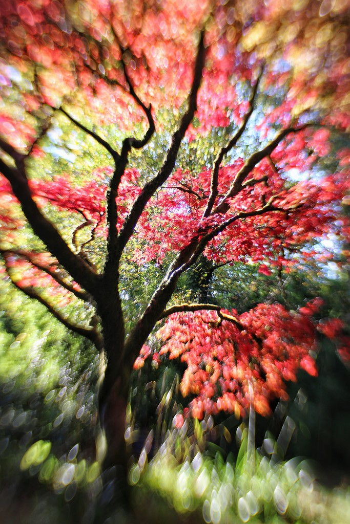 The Japanese Maple Tree by motherjane