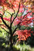 12th Oct 2020 - The Japanese Maple Tree