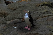12th Oct 2020 - Yellow eyed Penguin